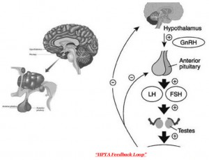Pathophysiology of clomiphene and HPTA